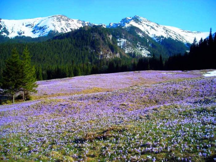 Krokusy W Tatrach Jak Gdzie Kiedy